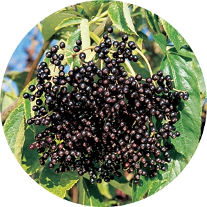 Бъз черен плод-шаркови