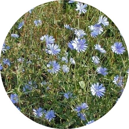 Синя жлъчка/цикория/стрък-шаркови