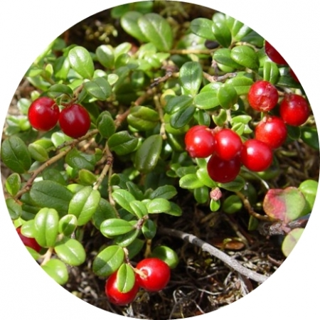Червена боровинка листа-ШАРКОВИ
